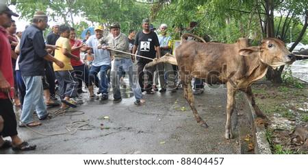 KUALA LUMPUR - NOVEMBER 7: Unidentified Malaysian Muslims prepare a cow during Eid Al-Adha Al Mubarak, the Feast of Sacrifice November 7, 2011 in Kuala Lumpur, Malaysia.