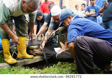 KUANTAN, MALAYSIA - NOVEMBER 04: unidentified Malaysian Muslims help in slaughtering a cow during Eid Al-Adha Al Mubarak, the Feast of Sacrifice November 04, 2011 in Kuantan, Malaysia.