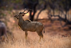 Kudu animal at African forest