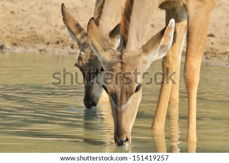 Kudu Antelope - Wildlife Background from Africa - Animal Mom and Baby drink water