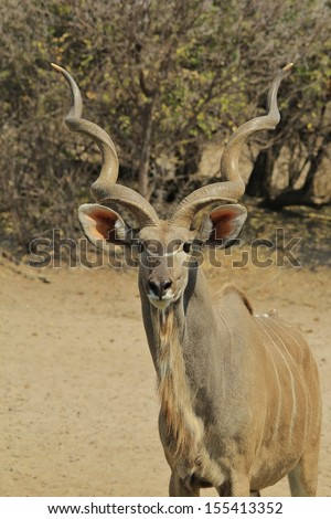 Kudu Antelope - Wildlife Background from Africa - Pose of perfection and twisted horn