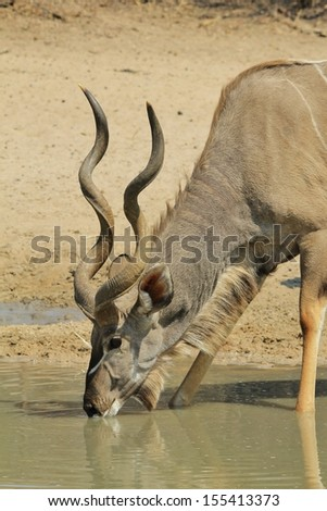 Kudu Antelope - Wildlife Background from Africa - Quenching thirst and loving life