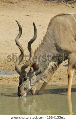 Kudu Antelope - Wildlife Background from Africa - Spiral horns of the magnificent bull