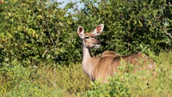 Kudu female looking backwards in an enquiring manner