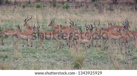 Kudu in the Savannah of in Zimbabwe, South Africa #1343925929