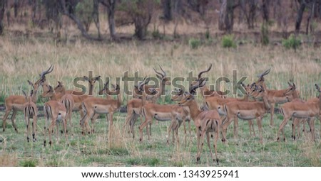 Kudu in the Savannah of in Zimbabwe, South Africa #1343925941