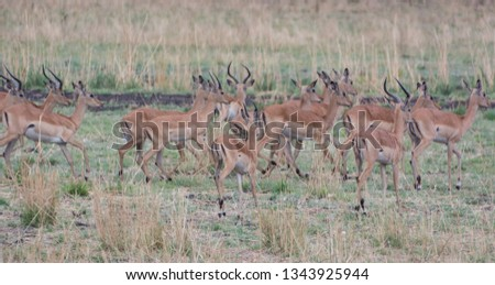 Kudu in the Savannah of in Zimbabwe, South Africa #1343925944