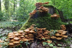 Kuehneromyces mutabilis (synonym: Pholiota mutabilis), commonly known as the sheathed woodtuft, is an edible mushroom that grows in clumps on tree.