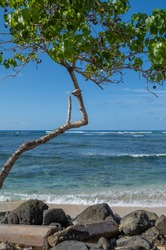 Kukui Nut Tree on the Waikiki Shoreline.  Quiet Profile of Surf and ocean with tree and rock along the beach.