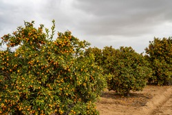 Kumquat trees loaded with fruit in a grove in southern Israel, on an overcast day.