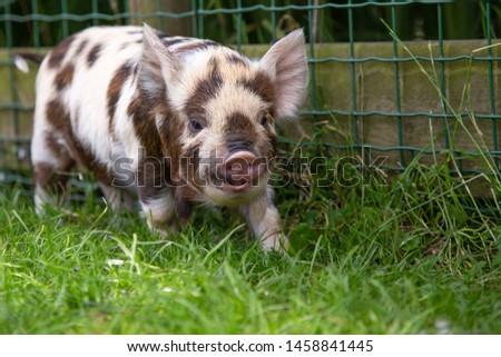 Kunekune piglet walking in the grass #1458841445