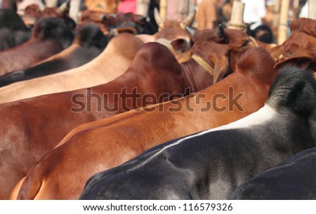 Kurbani Cattle in Bangladesh