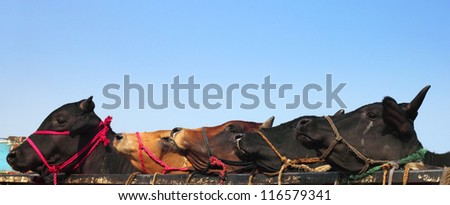 Kurbani Cattle in Bangladesh