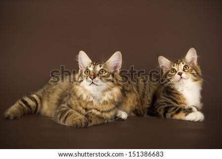 Kuril Bobtail Cat on a brown background