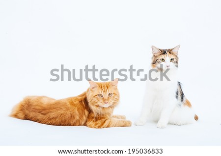 Kuril Bobtail Cat on a white background. Kuril Bobtail Cat on an isolated background.