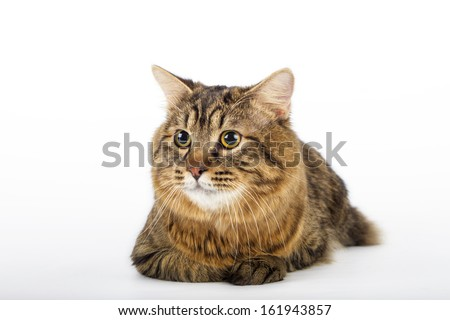 Kuril Bobtail Cat on an isolated background