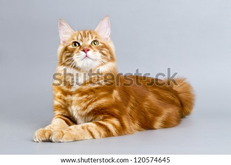 Kuril Bobtail Cat red color.