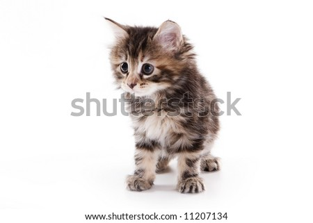 Kuril Bobtail kitten on white