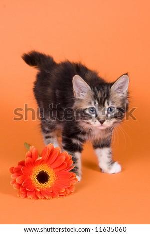 Kuril Bobtail kitten on white