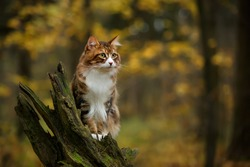 kuril bobtail russian cat walking outdoor in the forest