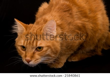 Kurilian bobtail cat - stock photo