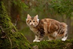 kurilian bobtail cat outdoor in forest