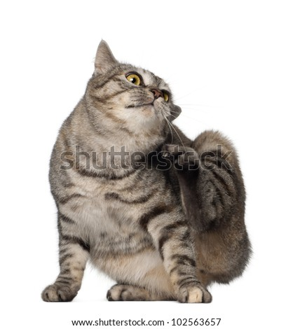 Kurilian Bobtail cat, 1 year old, scratching in front of white background - stock photo