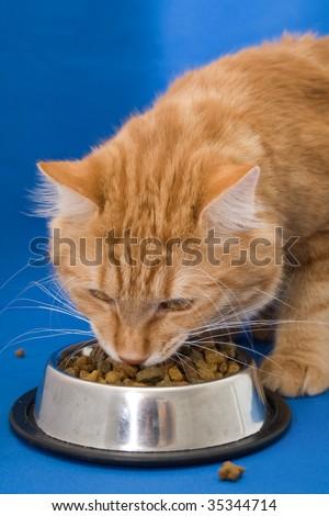 Kurilian bobtail eating