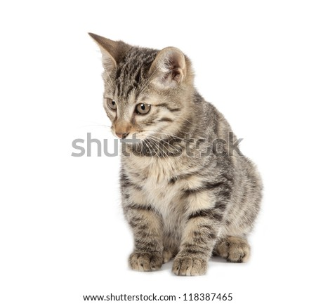 Kurilian Bobtail kitten isolated over white background