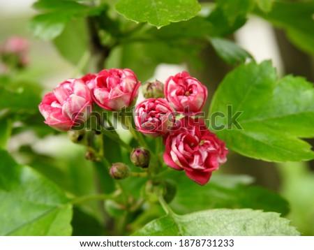 kwiatostany rosliny krzewu o nazwie głóg rosnacy w parku miasta bialystok na podlasiu w polsce Zdjęcia stock ©
