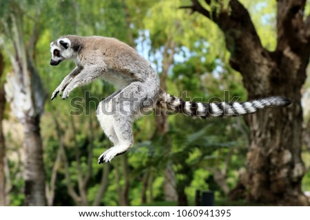 lémur in madagascar