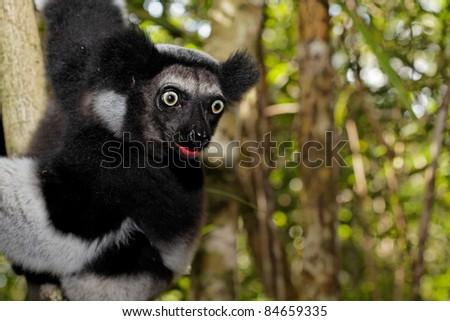 Lémurien Indri Indri tirant la langue.