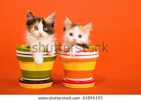 La Perm kittens sitting in colorful pots