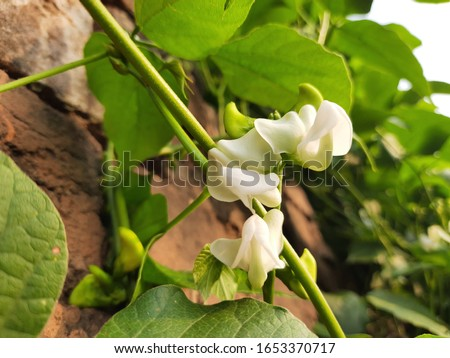 Lablab purpureus is a species of bean in the family Fabaceae.English language names include lablab-bean bonavist bean/pea,dolichos bean,seim,lablab,Egyptian kidney bean,Indian bean.White Lablab flower