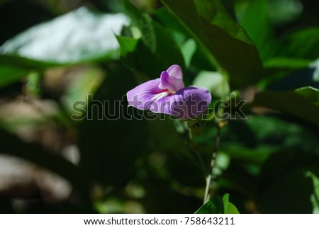 Lablab purpureus The tree has a trunk, twigs, twigs, slightly hairy leaves, fragile leaves, purple flowers, soft seeds are green. When it is dark brown. Or black when arranged. #758643211