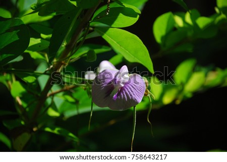 Lablab purpureus The tree has a trunk, twigs, twigs, slightly hairy leaves, fragile leaves, purple flowers, soft seeds are green. When it is dark brown. Or black when arranged. #758643217
