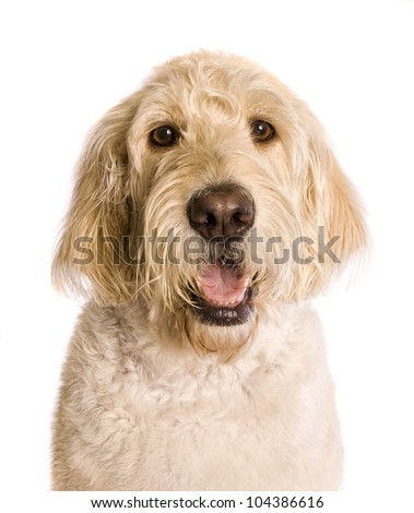 Labradoddle dog head shot
