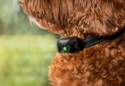 Labradoodle dog with bark collar active. Close up. Cute large female adult dog sitting by the window while wearing remote training collar to reduce or stop barking at outside action. Selective focus.