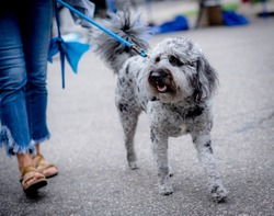 Labradoodle (Labrador retriever and poodle cross breed) walking on blue leash with woman wearing jeans and sandals. Dog is black, gray and white.