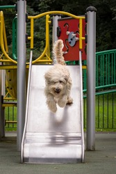 Labradoodle on Slide