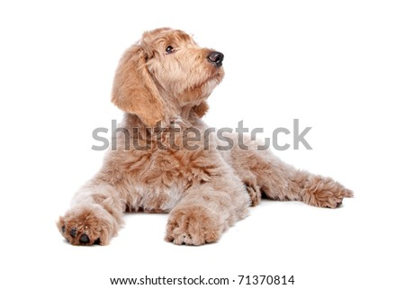 Labradoodle puppy - stock photo