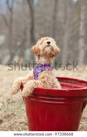 Labradoodle puppy which is part Labrador Retriever and Poodle. It is in a flower pot with paws on the side looking cute.
