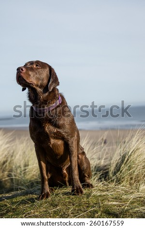 Labrador  #260167559