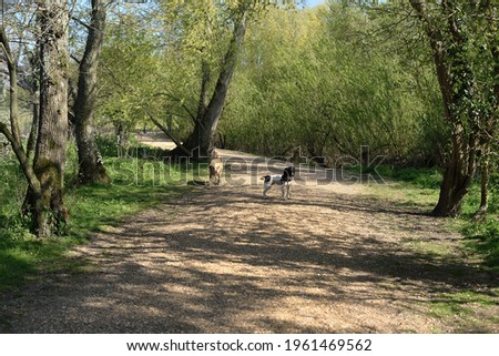Labrador and Springer at Canford SANG Photo stock ©