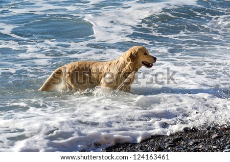 labrador as he walks by the sea