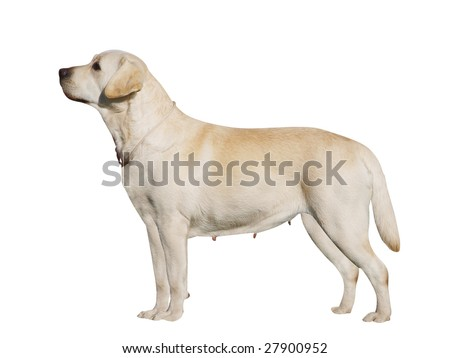 Labrador Bitch isolated with clipping path