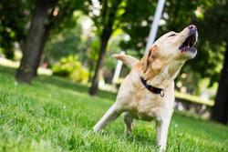 Labrador dog barking at city park