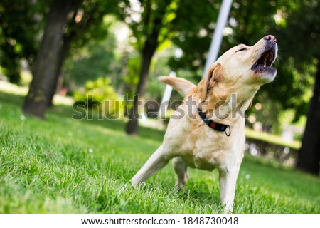 Labrador dog barking at city park Foto stock ©