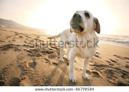 Labrador dog in the beach