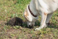 Labrador dog is surprised to find prickly hedgehog in grass
